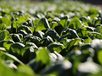 Sustainable Cut: Giving Spinach a Second Chance